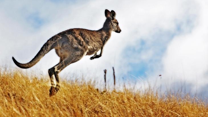 kangaroo-hopping.jpg